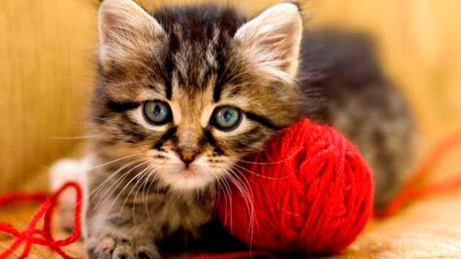 En gatos de pequeña edad, las pulgas suelen afectar su salud severamente, si no se trata.