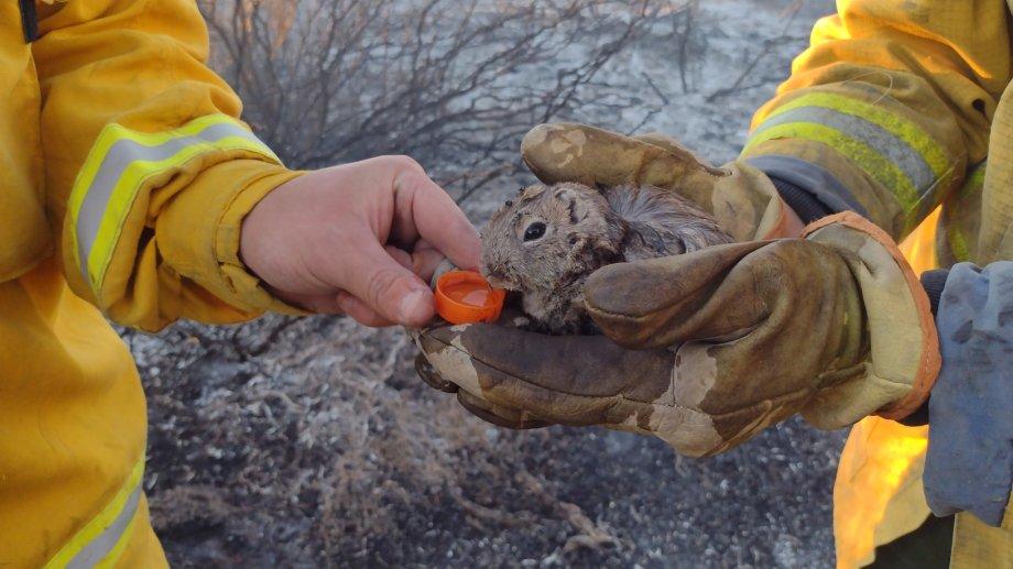 Uno de los animales rescatados del incendio. (Gentileza Bomberos Picún Leufú).-