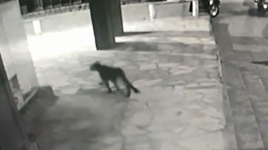 Días atrás un puma se paseó por el centro de Bariloche durante la madrugada y fue captado por cámaras de un edificio. Imagen captura de pantalla
