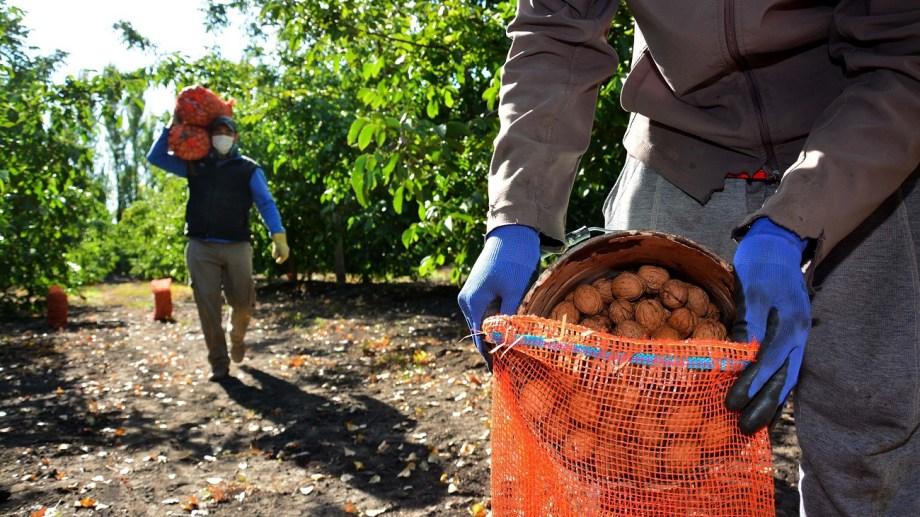 En la colonia hay más de mil hectáreas plantadas. Foto: Marcelo Ochoa.
