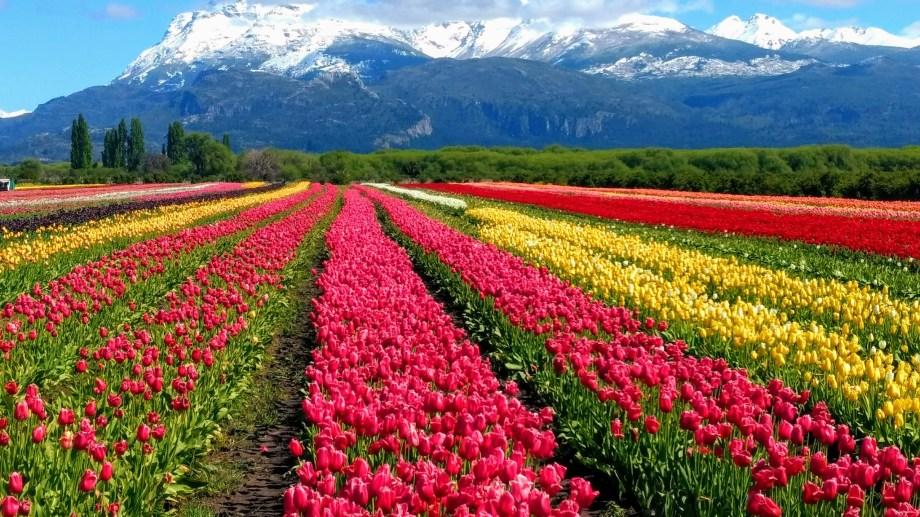 Unos 2,3 millones de bulbos de tulipanes florecen y crean una postal icónica con el cerro Gorsedd Y Cwmwl de fondo.