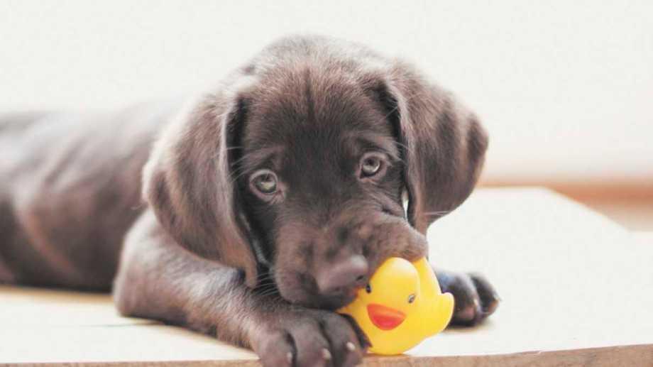 Los cachorros son los más propensos a ingerir objetos extraños, por eso se debe estar atentos mientras dure esa etapa