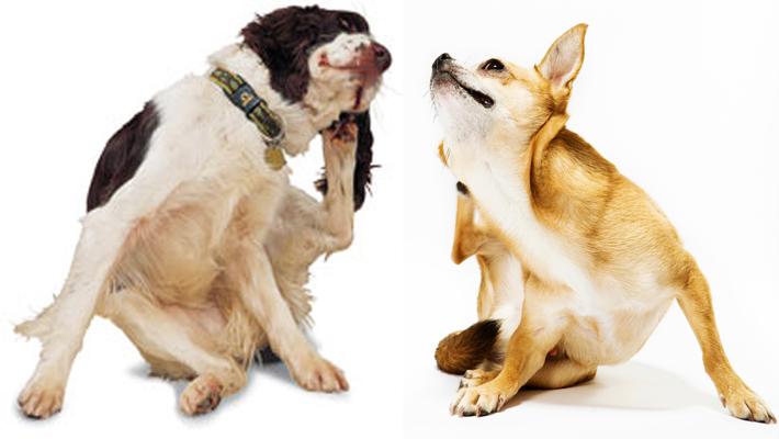 sarna en perros hereditaria